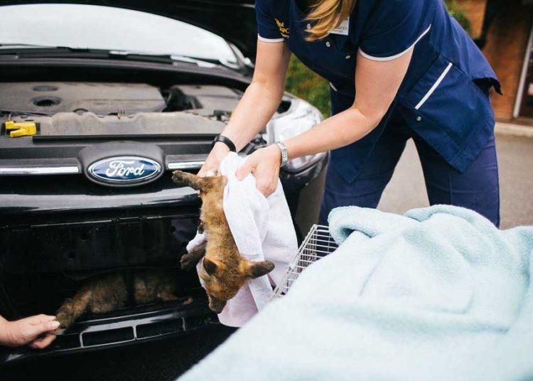 Лисы под капотом авто