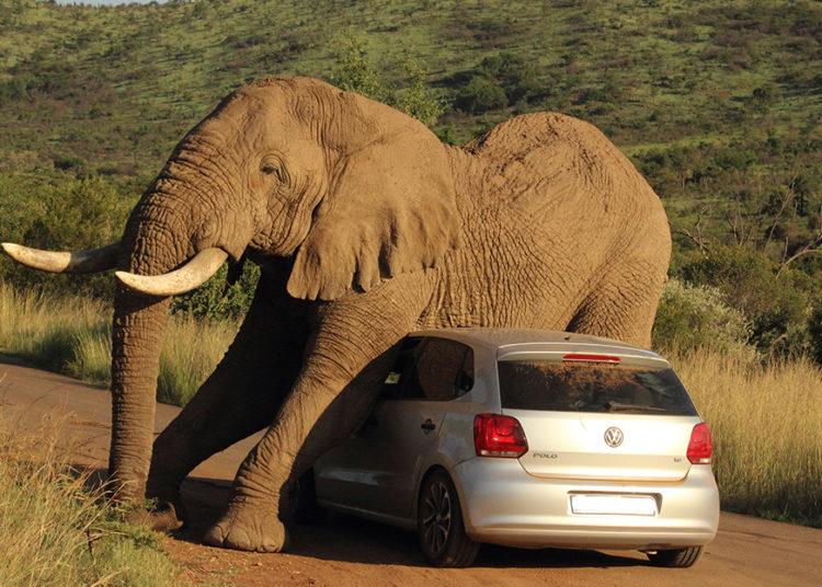 Слон на легковом авто