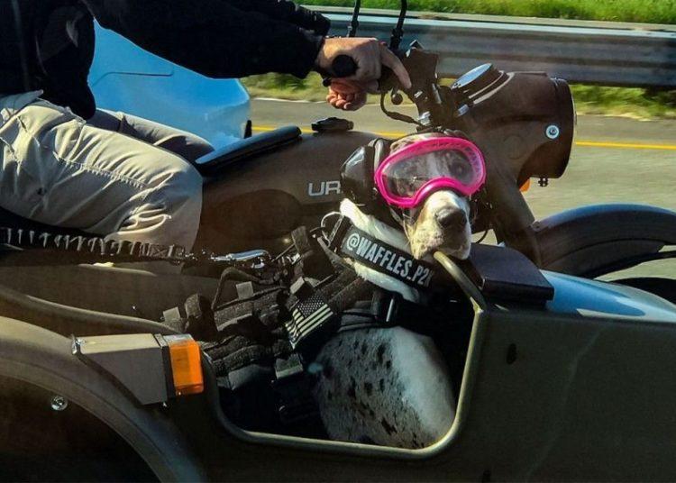 Собака в очках на мотоцикле