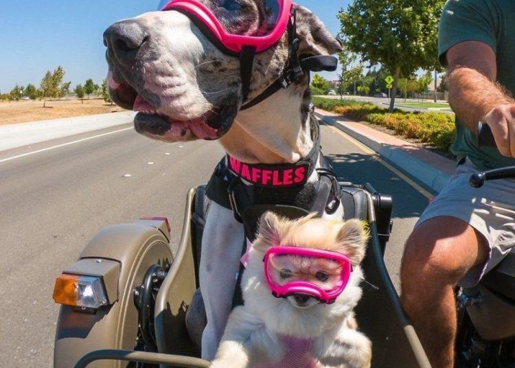 Две собаки в очках